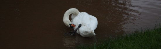 A swan in the flood (06-09-08)