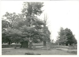 Elm trees in the church yard