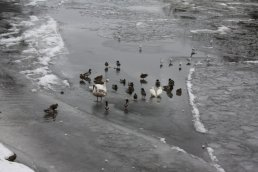 Ducks and swans stood on the ice