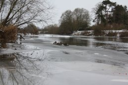 Ducks stood on the ice at Wilton Bridge