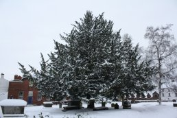 Yew Tree in the snow