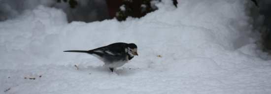 Pied Wagtail in the snow